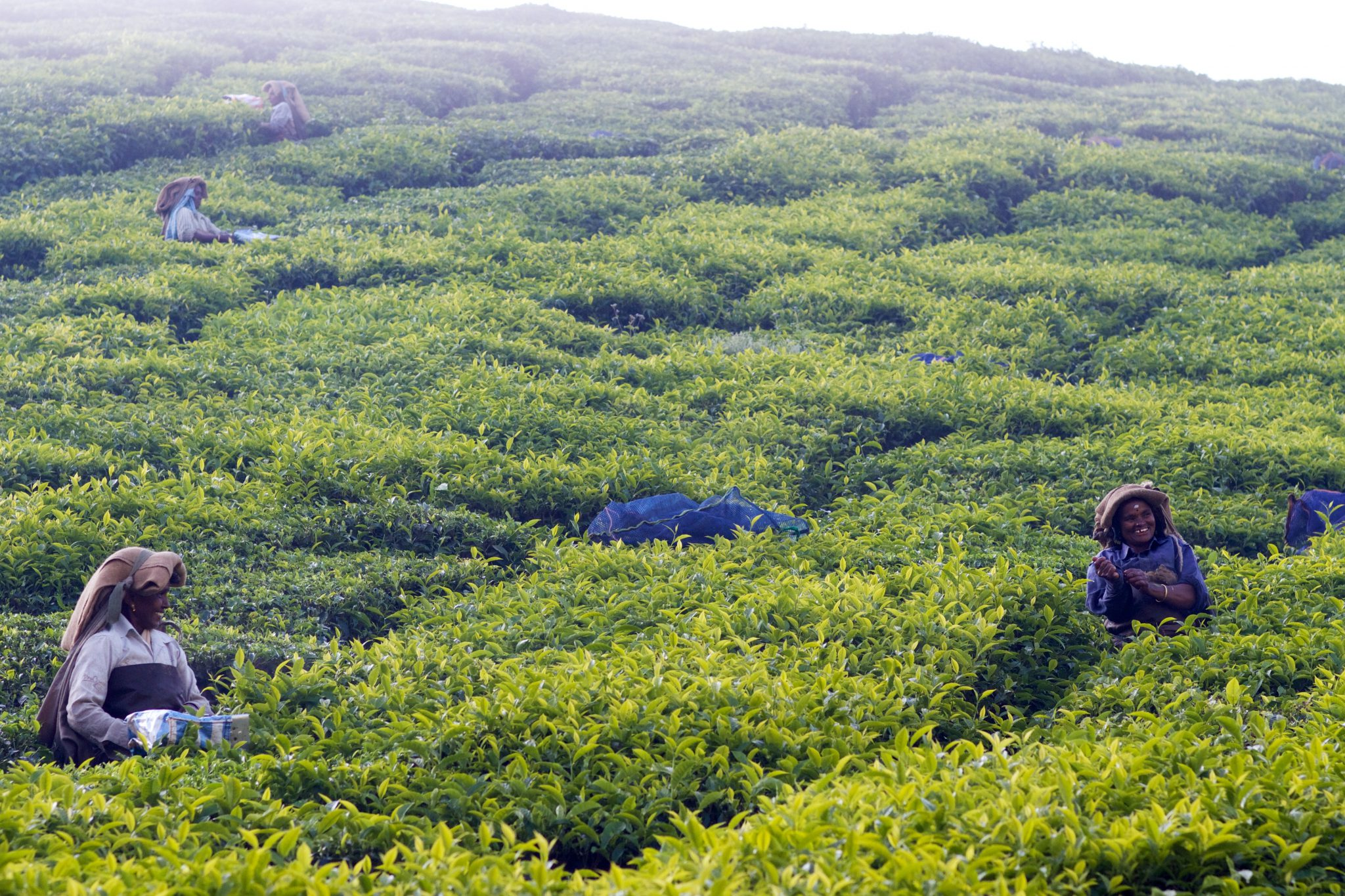 women in the field picking tea