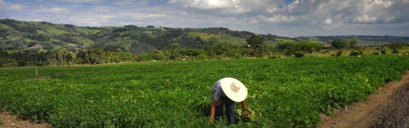 Beans field in Darien, Colombia