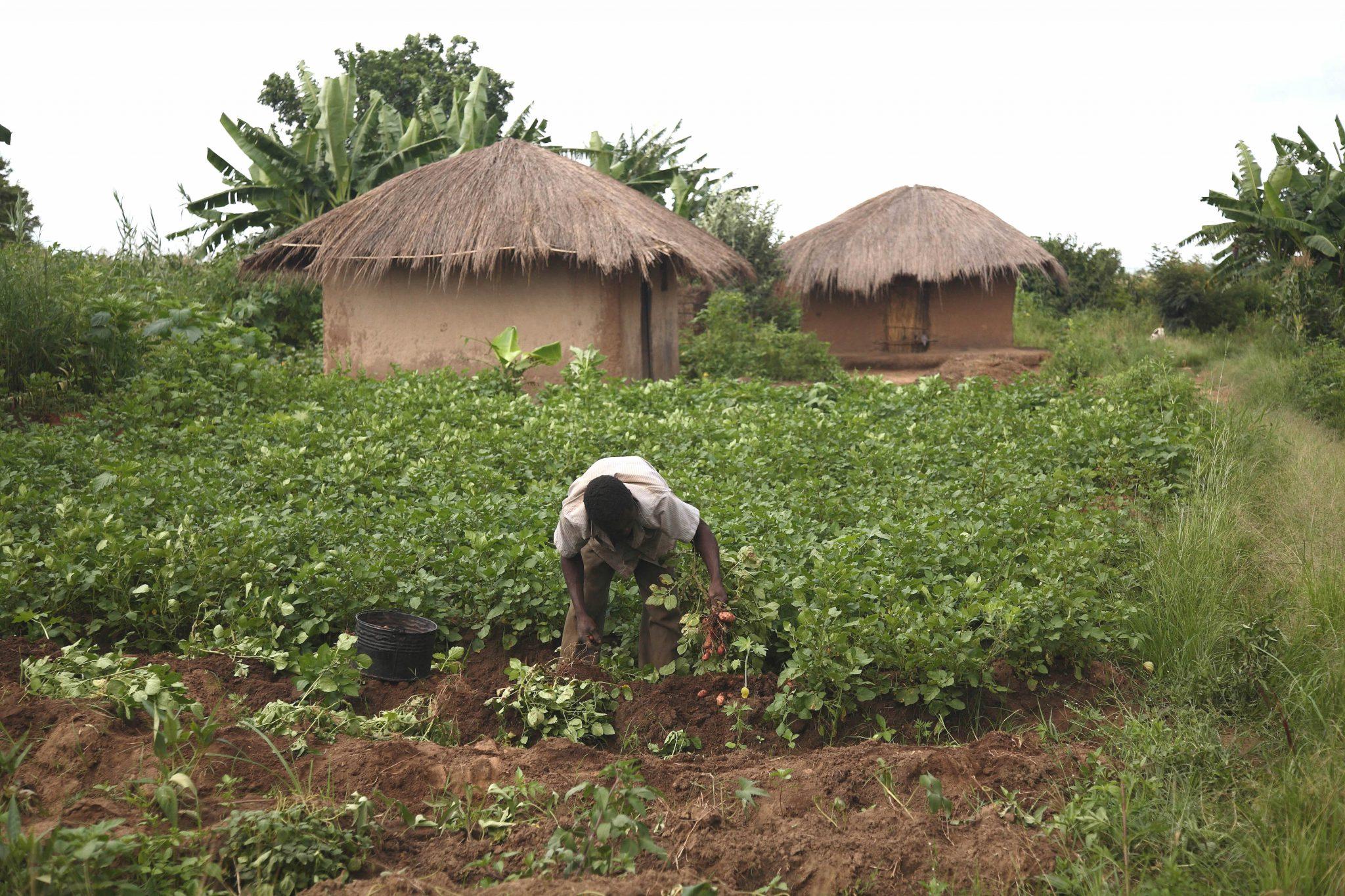 A Malawian farmer in his farm