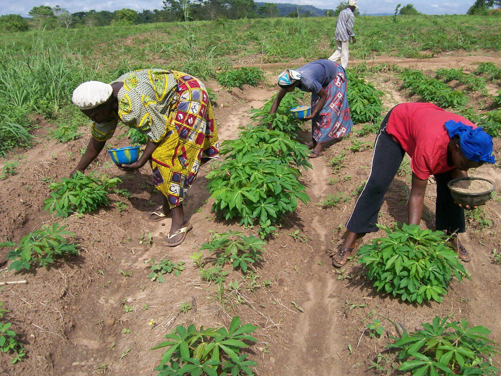 Women applying fertilizer to Cassava plants in Nigeria