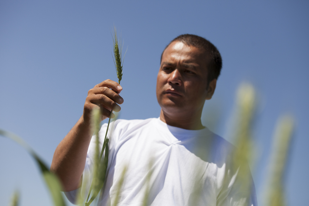 Man holding drought or salt-resistant crops