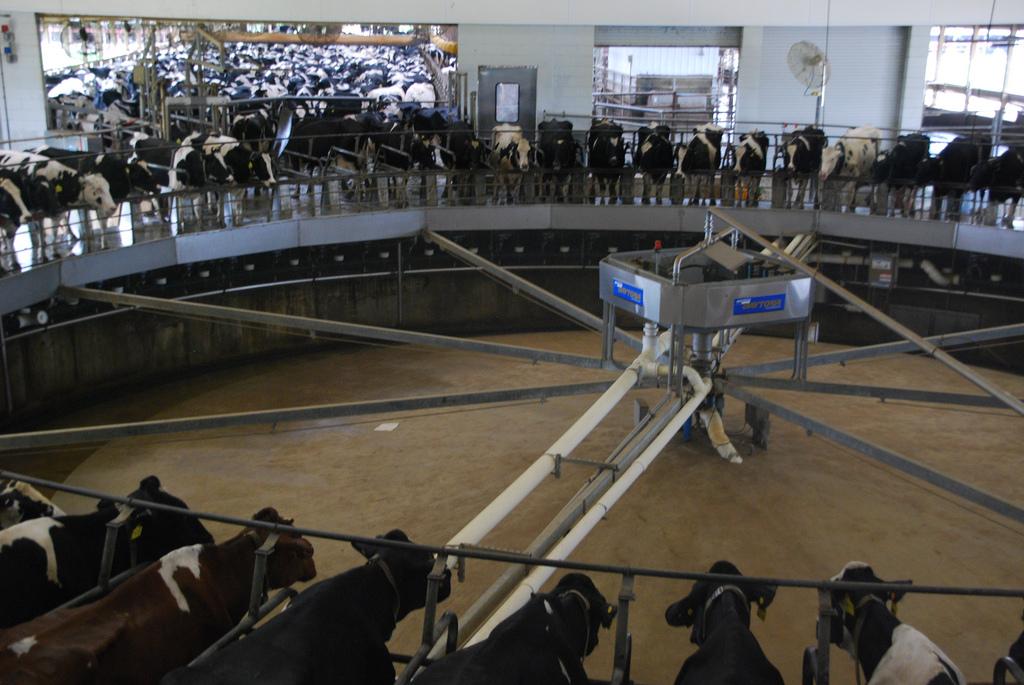 An industrial cow milking machine at Fair Oaks Farms