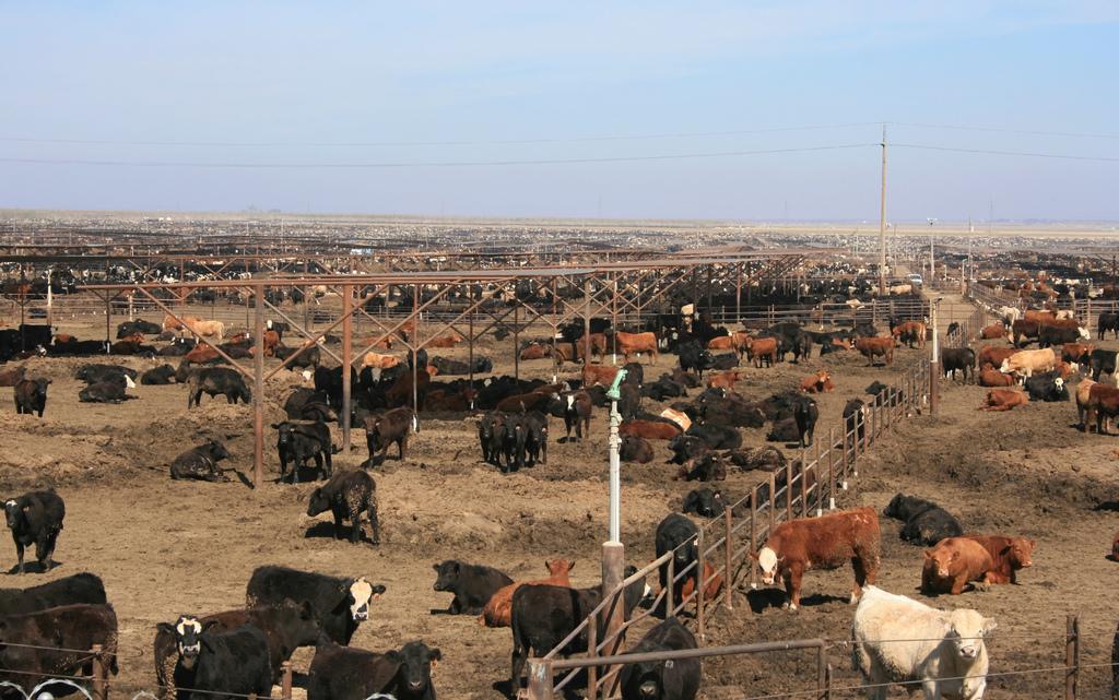 Large US cattle farm