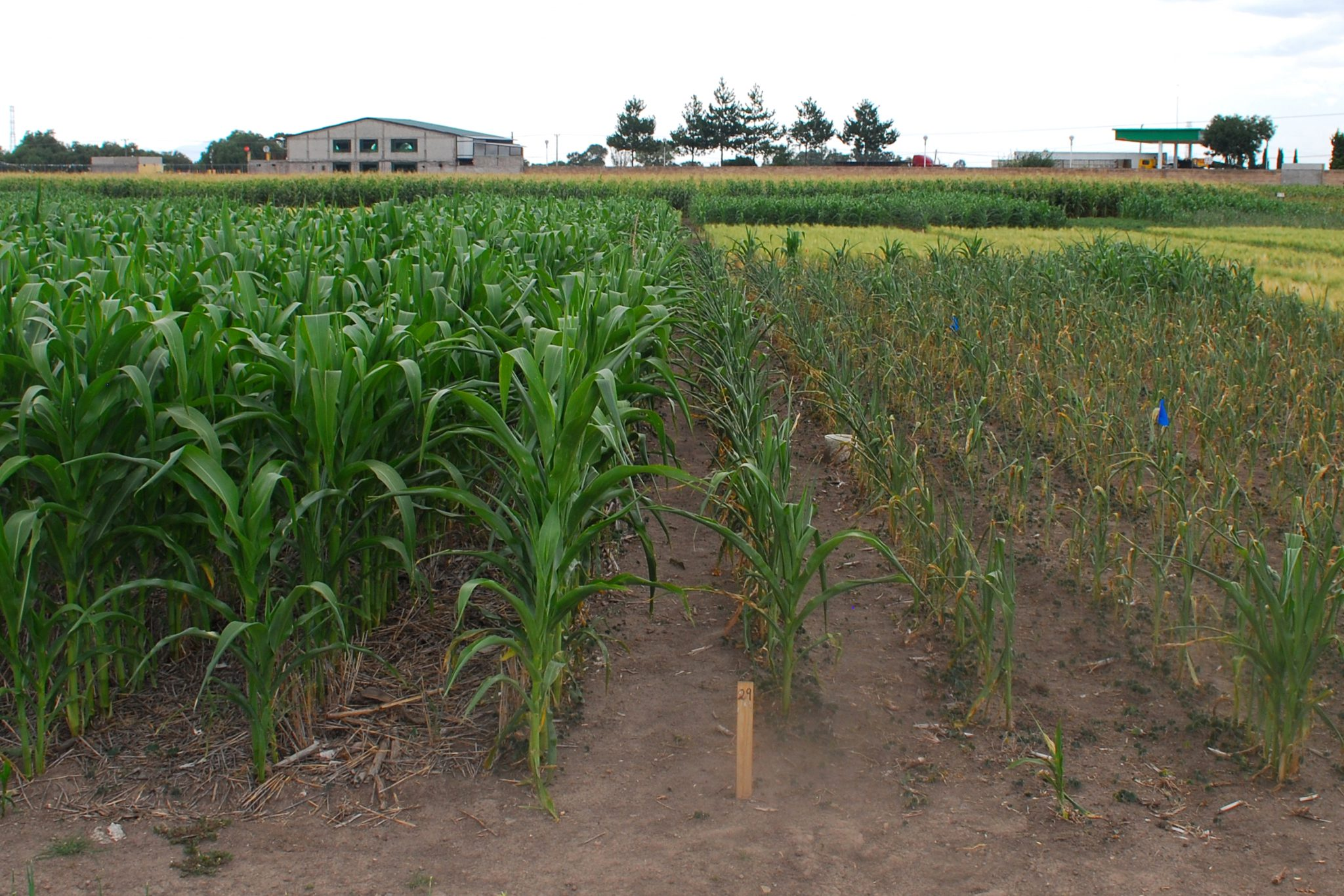 Maize grown in rotation with wheat