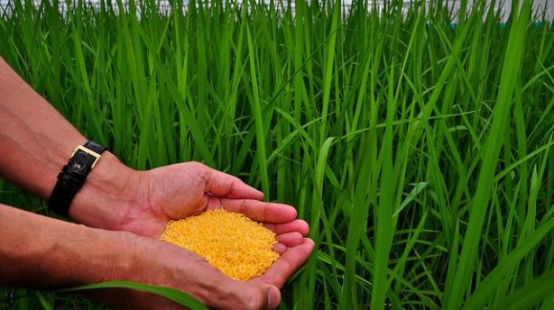 Golden Rice grain held in a screenhouse of GM Golden Rice plants