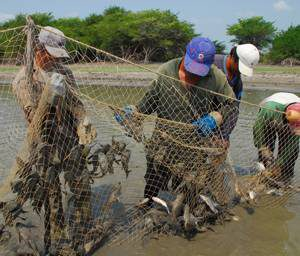 Fishermen removing plecostomus from their nets