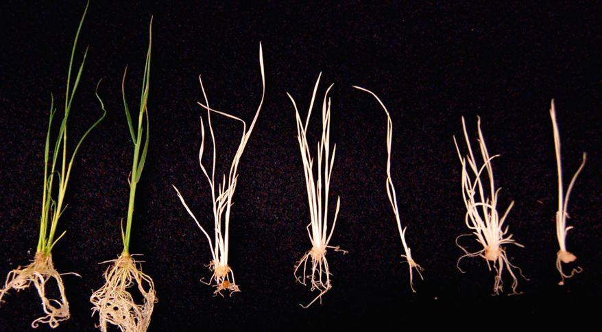 Differences in genetically modified rice