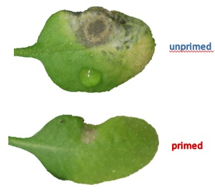 Image showing pathogen damage to a primed leaf compared with and unprimed leaf
