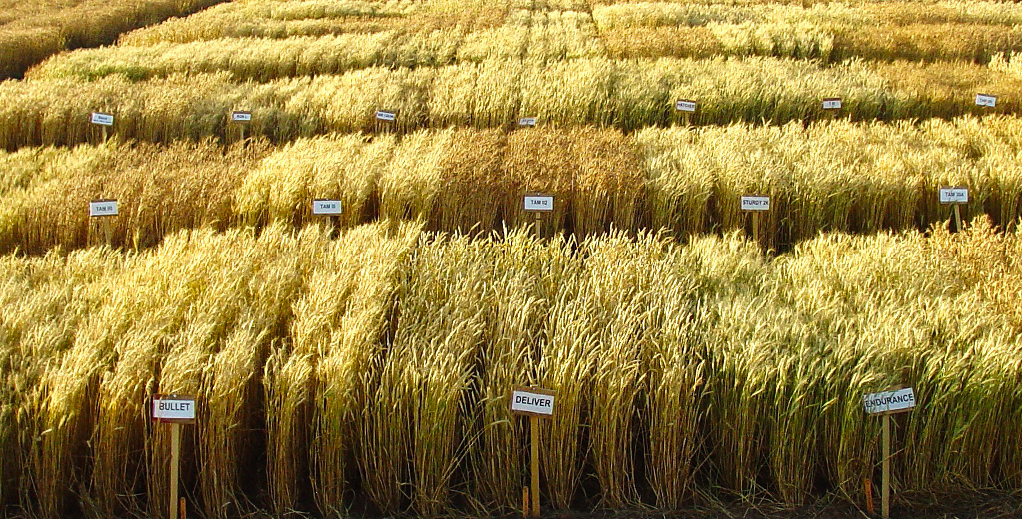 Different varieties of wheat in a field