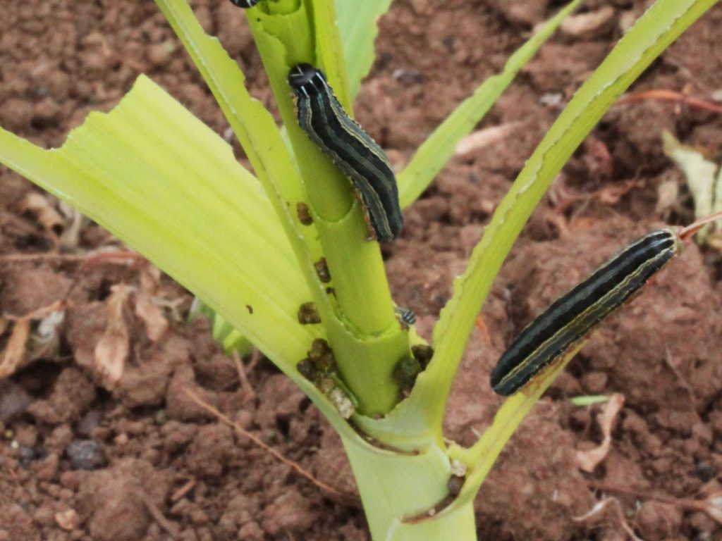 Armyworms on cereal crops