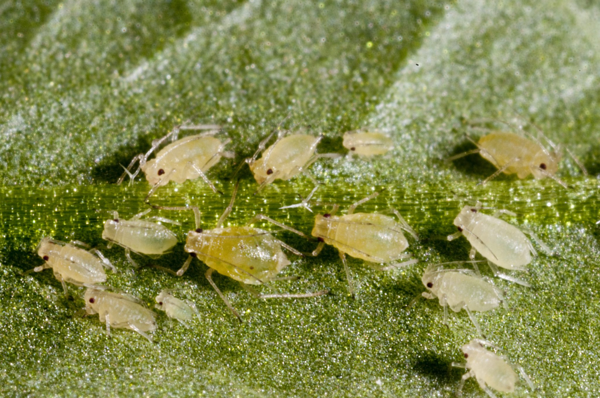 The green peach aphid (Myzus persicae) and her progeny feeding on a leaf