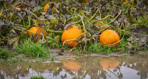 Flooded pumpkin patch