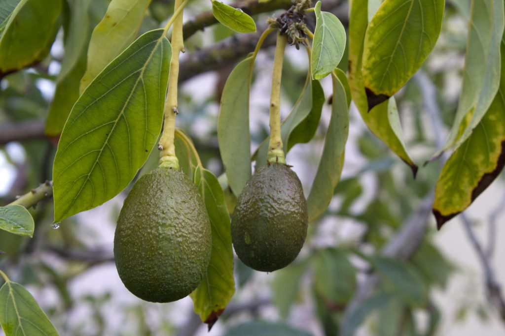 Avocados in a tree