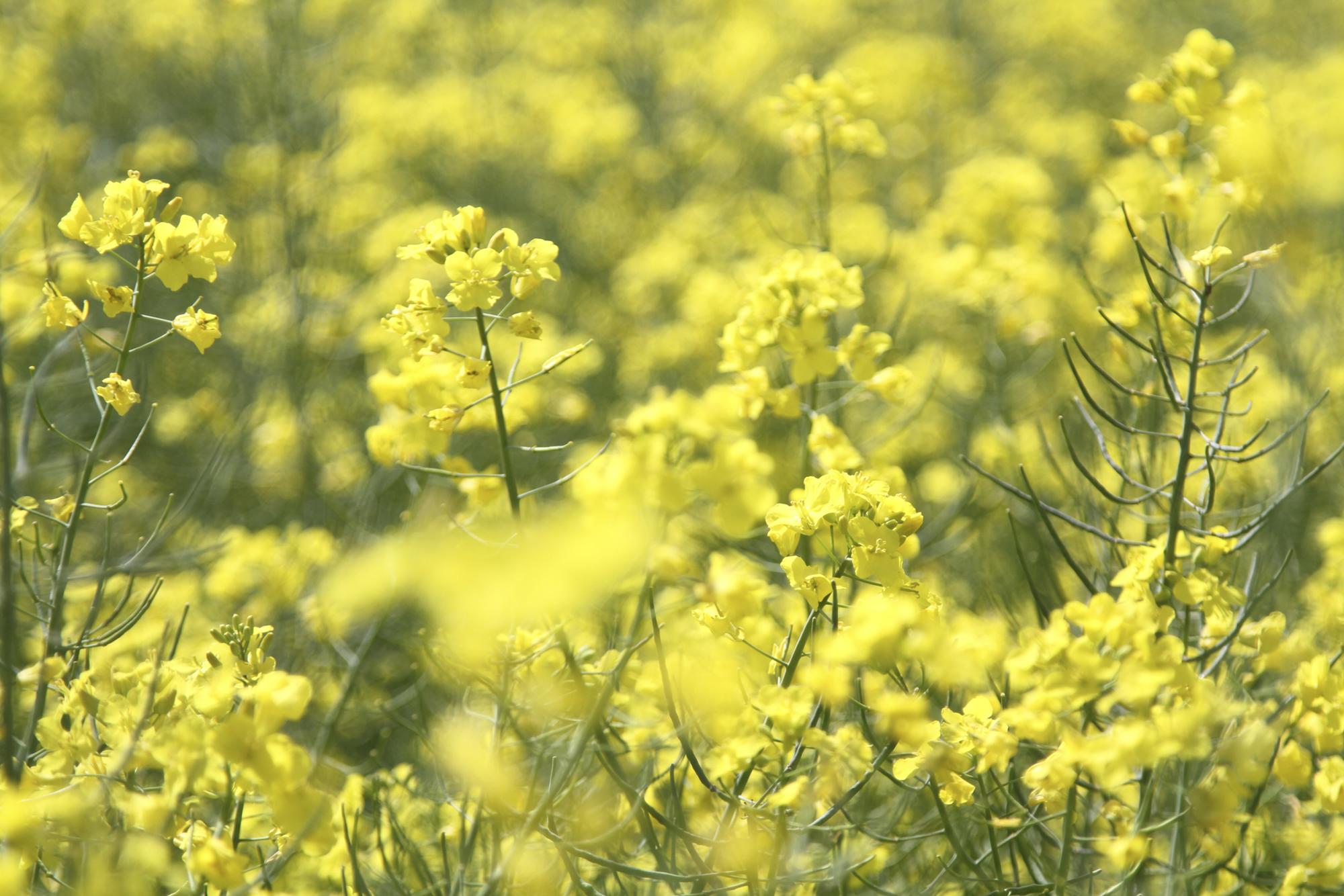 Rape crops