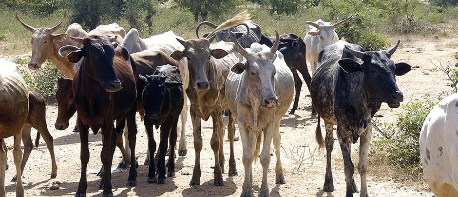 Cattle livestock
