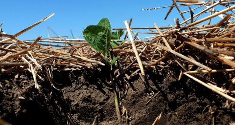 Soybeans planted into winter wheat stubble