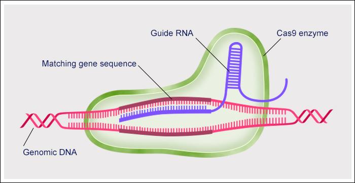 A CRISPR-Cas9 gene editing complex attaching to genomic DNA.